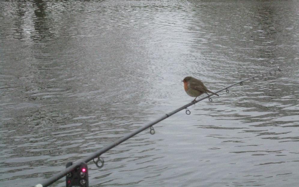 robin sitting on fishing rod