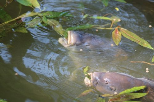 build their confidence first when targeting carp off the top